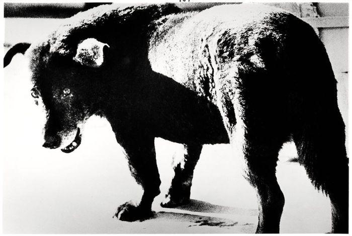 Stray dog, Misawa, 1971 © Daido Moriyama